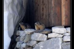 marmottes_01