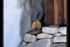marmottes_02
