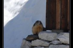 marmottes_03